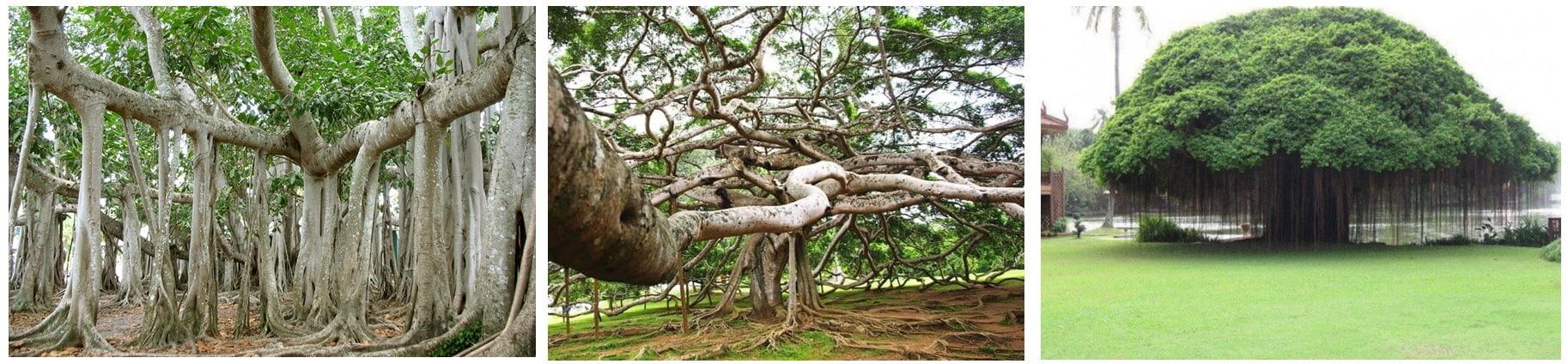 интерестное о дереве баньян