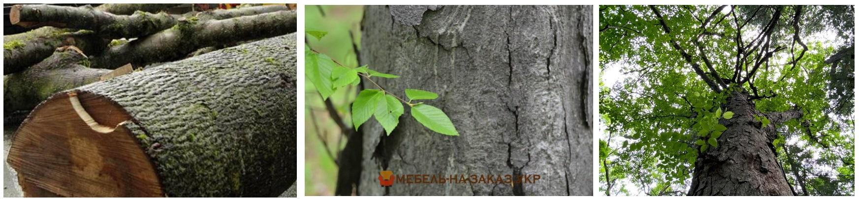 дерево берёзы Шмидта