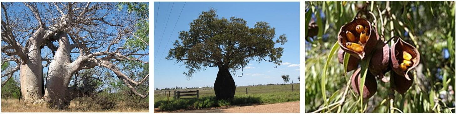 свойства бутылочного дерева