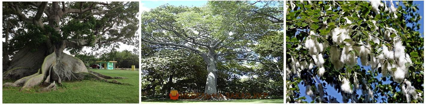 интерестное о хлопковое дерево