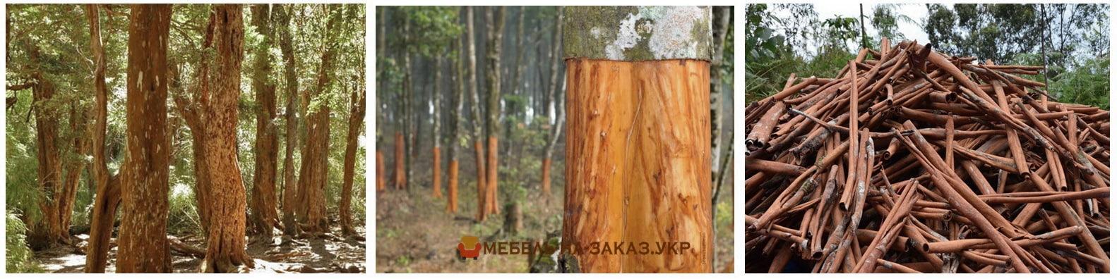 свойства дерева корицы