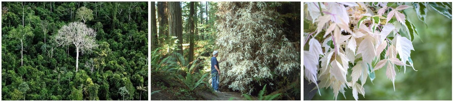 Свойства дерева сиквои